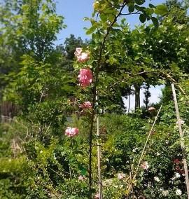 Роза Флорибунда Rosa Floribunda C10L h200