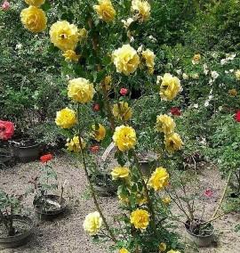 Роза садовая C30L h170