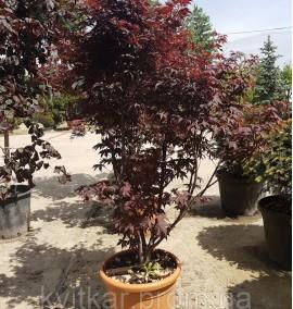 Клен пальмолистный Бладгуд Acer palmatum Bloodgood C25L h120-150