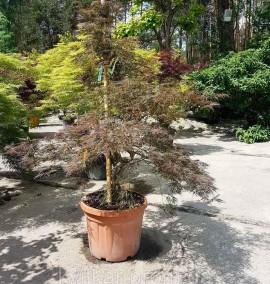 Клен пальмолистный Acer Palmatum Fireglow