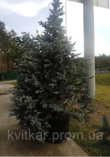 Ель колючая Picea Pungens Hoopsi 250-300