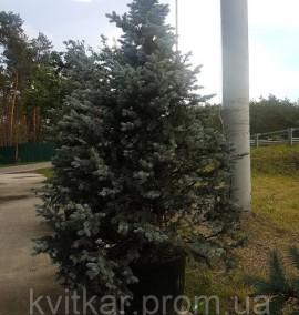 Ель колючая Picea Pungens Hoopsi