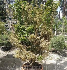 Клен пальмолистный Acer palmatum Butterfly extra c45 125-150