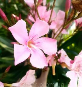 Олеандр Nerium Oleander Pink c10