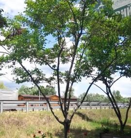 Ирга Ламарка Amelanchier lamarckii деревянный горшок h 400-450