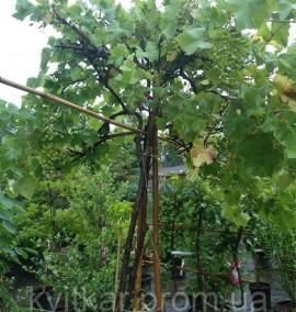 Виноград Vitis in Fragola alto Fusto Tet