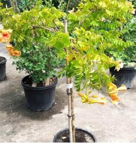 Кампсис Bignonia Campsis Tagliabuana mme galen FULL STD c18
