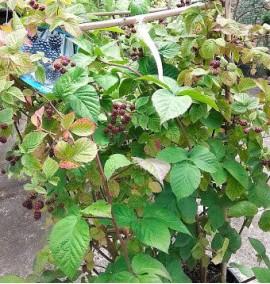 Ежевика Rubus Idaeus Lampone Frame c18