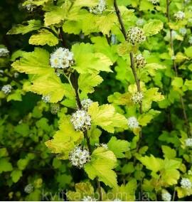 Пузыреплодник калинолистный Physocarpus opulifolius С 25L h-150-170