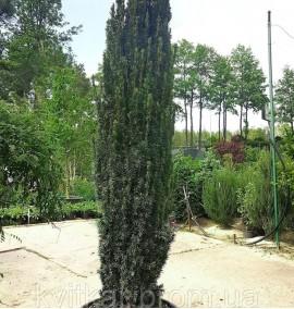 Тис ягодный Фастигиата Taxus baccata fastigiata c150 180-200