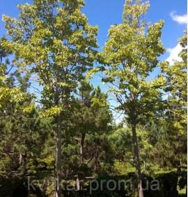 Липа европейская Паллида Tilia europaea Pallida С140 h5,5-6м