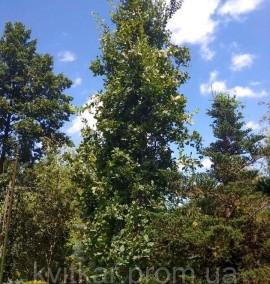 Дуб черешчатый Фастигиата Quercus robur Fastigiata С-210 h8-9м