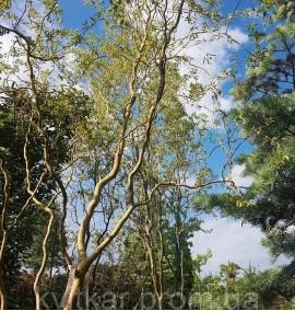 Ива Матсудана (Китайская) Желтая Salix Matsudana Ком h 6-7м