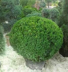 Самшит вечнозелёный Búxus sempervírens С80L d 090-100 PALLA