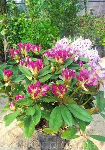 Рододендрон гибридный Rhododendron C50L