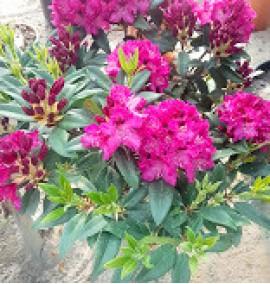 Рододендрон Rhododendron C45L h70-90