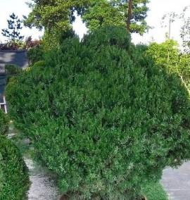 Можжевельник средний Juniperus media Pfitzeriana Aurea (куб) С80 h1,5м
