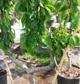 Черешня на шпалере Prunus Avium Ciliegio Frame Spall С30L 1,5-1,6м