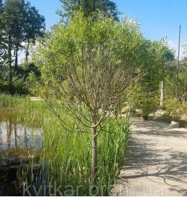 Ива ломкая (Ракита) Булата Salix fragilis Bulata C60L h7