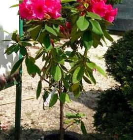 Рододендрон Rhododendron C10L h50-60