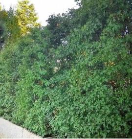 Боярышник сливолистный Cratageus prunifolia Дер. горшок h2.5-3м