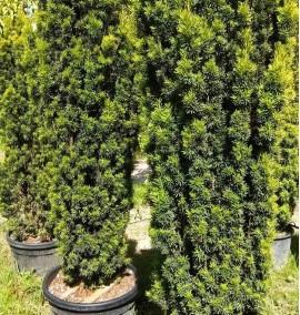 Тис ягодный Фастигиата Ауреа (TAXUS BACCATA FASTIGIATA AUREA) C70 h160/180