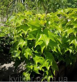 Партеноциссус тройчатый (Виноград Вичи) Parthenocissus tricuspidata