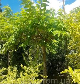 Шелковица на штамбе Morus Platanifolia C180L