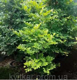 Бук европейский (лесной) Fagus Silvatica C60L h2.8м