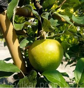 Яблоня домашняя Malus Communis Frutto Frame