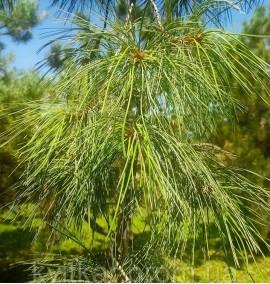 Сосна веймутовая Пендула Pinus strobus Pendula C80L h4.5м