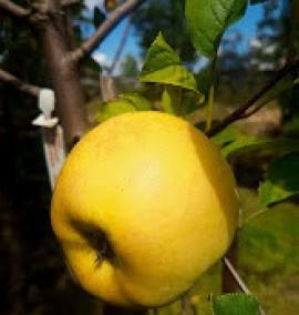Яблоня Богемия голд Malus Bogemia Gold C20L h2.5м