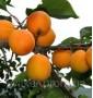 Абрикос Prunus Armeniaca Albicocco Frame Spall С 35 h 180