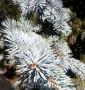 Ель «Фат Альберт» Picea Fat Albert C350L h5м