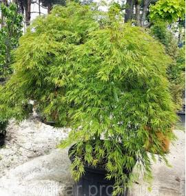 Клен пальмолистный Acer Palmatum Dissectum Viridis 1/2 STD