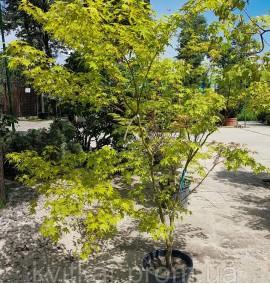 Клен веерный или японский Acer palmatum C40L h1,5-2м