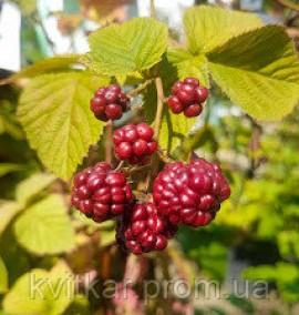 Ежевика Rubus Frutic (mora dei giardini) Frame