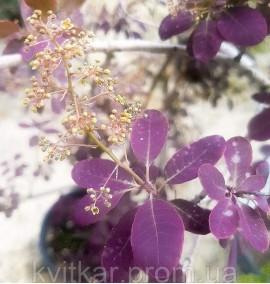 Скумпия кожевенная Роял перпл Cotinus coggygria Royal Purple C10L h1,2-1,5м