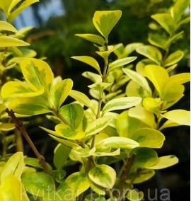Бирючина овальнолистная Ауреум Ligustrum ovalifolium Aurea C3L h 0,3-0,4м
