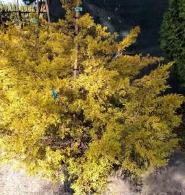 Можжевельник средний Голд Кост Juniperus media Gold Coast C50L 1.3-1.5м