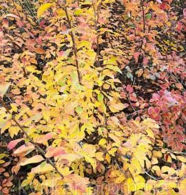 Кизильник блестящий Cotoneaster acutifolius C 3L 120-150