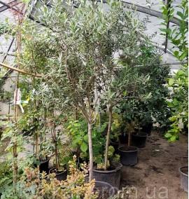 Олива европейская Olea C60L h2.5м
