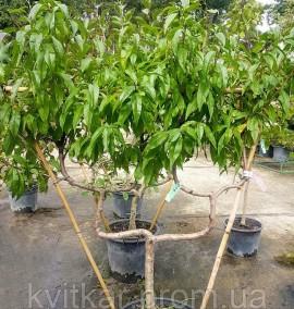 Персик на шпалере Prunus Pesco C30L h1.6-1.8м
