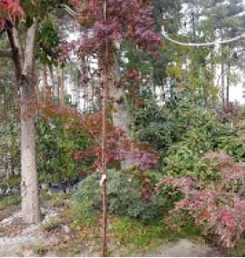Клен пальмолистный Acer palmatum C10L h4-5м