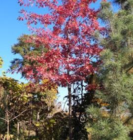 Дуб Qurecus palustris или дуб болотный H 3xv mDb 25-30 C-280 h-800