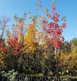 Клен красный Acer rubrum c 60 l h 400-500