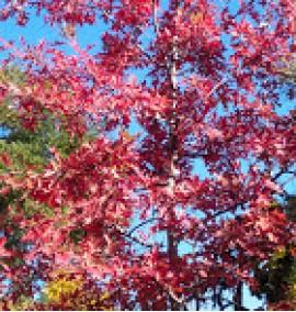 Дуб Qurecus palustris или дуб болотный 3xv 18-20 h6-7м