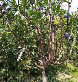 Слива колоновидная Prunus Domestica C50L h1.8-2м