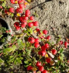 Кизильник Эйгольц Cotoneaster radicans Eichholz С1L 50-60