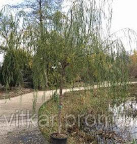 Ива вавилонская Salix Babilonica h3.5